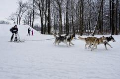 Raza de perro de trineo en Járkov, Ucrania imágenes de archivo libres de regalías