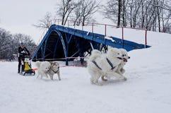 Raza de perro de trineo en Járkov, Ucrania fotos de archivo libres de regalías