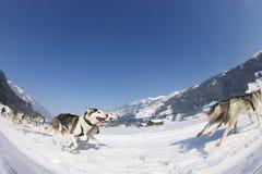 Raza de perro de trineo en Lenk/Suiza 2012 Fotos de archivo libres de regalías