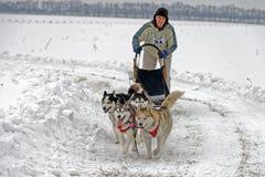 Raza de perro de trineo en nieve en día de invierno foto de archivo