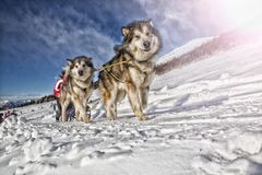 Raza de perro de trineo en nieve en invierno Fotografía de archivo libre de regalías