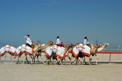 Raza del camello de Dubai Imagen de archivo libre de regalías