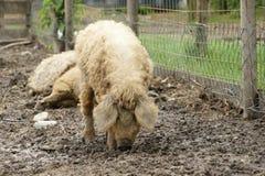 Raza del cerdo - Mangalitsa Fotografía de archivo