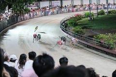 Raza del galgo en Vietnam Fotografía de archivo libre de regalías