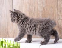 Raza del gatito - cola cortada kurilian en fondo de madera Foto de archivo libre de regalías