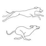 Raza del lebrel de los perros corrientes, dos actitudes Foto de archivo libre de regalías