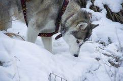 Raza del perro Foto de archivo libre de regalías