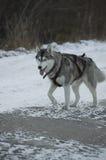 Raza del perro Imagen de archivo libre de regalías