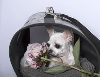 Raza del perro de la chihuahua en una cabina y con una peonía imagen de archivo