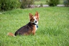 Raza del perro de Papillion Imágenes de archivo libres de regalías