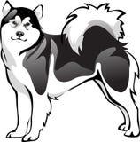 Raza del perro del Malamute Foto de archivo libre de regalías