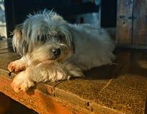 Raza del perro del tzu de Shih Imágenes de archivo libres de regalías