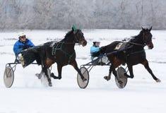 Raza del trotón de dos caballos en el movimiento Fotografía de archivo