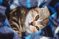 Raza escocesa del doblez del gatito lindo rayado que miente en manta foto de archivo
