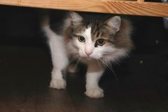 Raza Forest Cat noruego imágenes de archivo libres de regalías