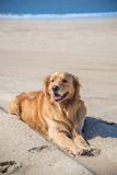 Raza hermosa del golden retriever del perro que goza en la playa Imagen de archivo