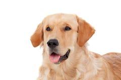 Raza hermosa del perro del golden retriever Fotografía de archivo