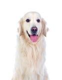 Raza hermosa del perro del golden retriever Imágenes de archivo libres de regalías