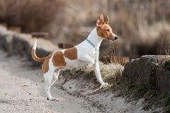 Raza Jack Russell del perro Fotografía de archivo