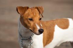 Raza Jack Russell del perro Fotografía de archivo libre de regalías