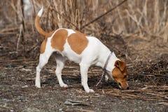 Raza Jack Russell del perro Imagen de archivo libre de regalías