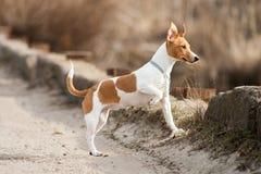 Raza Jack Russell del perro Imagen de archivo