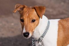Raza Jack Russell del perro Imagenes de archivo