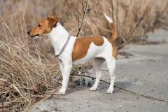 Raza Jack Russell del perro Foto de archivo