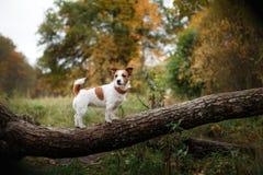 Raza Jack Russell Terrier del perro fotografía de archivo libre de regalías