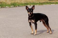 Raza Manchester Toy Terrier del perro fotografía de archivo libre de regalías
