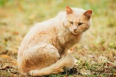 Raza mezclada amelocotonada beige Cat Lazy Looking Aside adulta nacional T Fotos de archivo libres de regalías