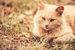 Raza mezclada amelocotonada beige Cat Lazy Looking Aside adulta nacional T Fotografía de archivo libre de regalías