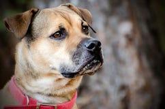 Raza mezclada dogo, retrato de la adopción del animal doméstico Foto de archivo