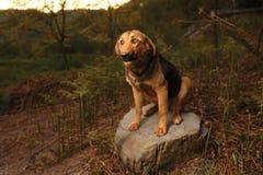 Raza mezclada Ginger Dog Sits en la piedra, curiosa foto de archivo libre de regalías