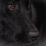 Raza mezclada Labrador negra del perro 164 Imagenes de archivo