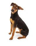 Raza mezclada perro lindo del rescate Fotografía de archivo libre de regalías