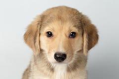 Raza mezclada primer Ginger Puppy Pity Looking Isolated en blanco Foto de archivo libre de regalías