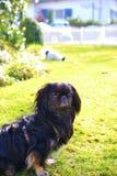 Raza pekinesa adorable de los pares, blanca y negra, corta y larga del pelo que juega junto en el jardín, perrito del perro del p foto de archivo