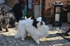 Raza pekinesa adorable de los pares, blanca y negra, corta y larga del pelo que juega junto en el jardín, perrito del perro del p fotos de archivo libres de regalías