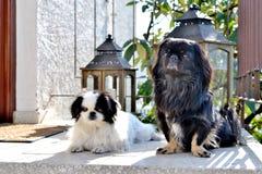 Raza pekinesa adorable de los pares, blanca y negra, corta y larga del pelo que juega junto en el jardín, perrito del perro del p imagen de archivo libre de regalías