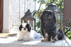 Raza pekinesa adorable de los pares, blanca y negra, corta y larga del pelo que juega junto en el jardín, perrito del perro del p fotos de archivo