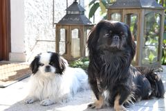 Raza pekinesa adorable de los pares, blanca y negra, corta y larga del pelo que juega junto en el jardín, perrito del perro del p foto de archivo libre de regalías