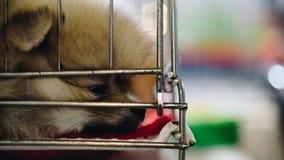 Raza pomeranian del perrito en perro de la jaula con tristeza Imágenes de archivo libres de regalías