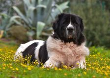 Raza pura del perro de Landseer Imagen de archivo libre de regalías