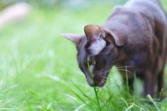 Raza siamesa del gato adulto del animal doméstico Fotos de archivo libres de regalías