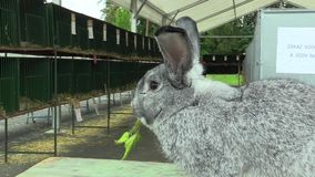 Raza significativa del conejo gigante de la chinchilla, exposición Checo almacen de metraje de vídeo