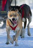 Raza sledding del perro Foto de archivo