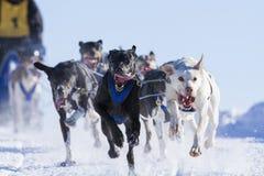 Raza sledding 2015 del perro internacional de Lanaudiere Imagen de archivo