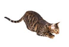 Raza Toyger del gato que se prepara para saltar Fotos de archivo libres de regalías