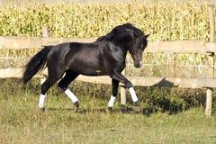Raza ucraniana del caballo del semental Foto de archivo libre de regalías